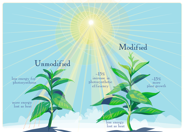 graphic of modified and unmodified tobacco plants