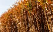 Fall, Miscanthus x giganeus