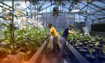 greenhouse workers